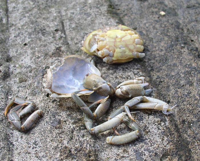 wirral sea fishing  u00bb peeler crab