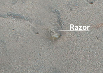 Burried Razor Fish
